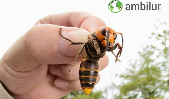 Ambilur Control de Plagas Avispa Asiatica